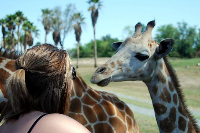 Serengeti Safari feeding giraffes