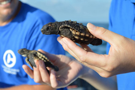 Turtle Hatchlings at Clearwater Aquarium