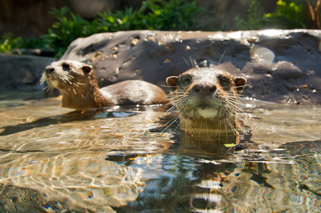 Otters at Freshwater Oasis in Discovery Cove