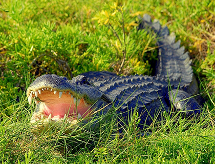 Alligator with mouth wide open in the grass at Wild Florida