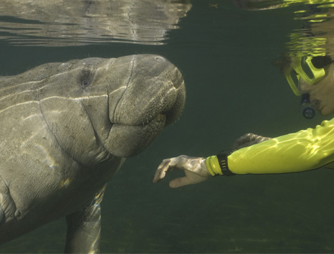 Man swimming with manatees