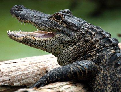 Gatorland aligator