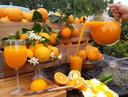 Fresh oranges and orange juice at Showcase of Citrus