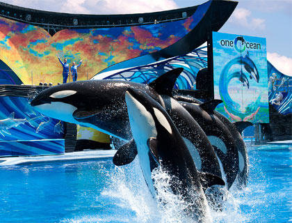 Killer Whales performing at the One Ocean Show at SeaWorld