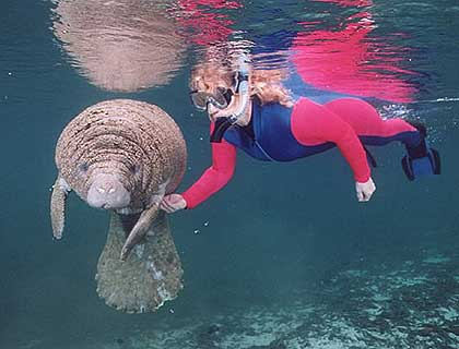 Woman in a dark blue-pink snorkelling suit swimming hand in hand with a manatee underwater