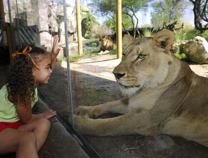 Little girl looking at lion at Busch Gardens