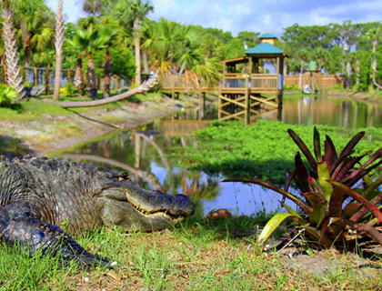 Alligator looking at the greenery in Wild Florida Wildlife Park